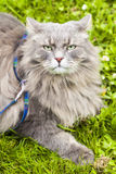 Big gray cat  with long hair Stock Photo