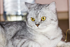 Big gray cat Royalty Free Stock Photos