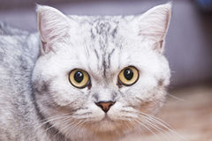 Big gray cat Stock Images