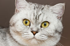 Big gray cat Stock Photos