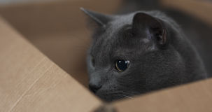 Big gray cat playing in cardboard box. 4k photo stock photos