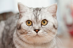 Big gray cat Stock Photography