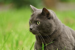 Big gray cat portrait in the grass Stock Images