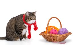 Big gray cat in a red scarf. And a basket of thread, isolated on white stock image