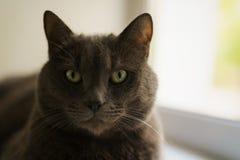 Big gray cat sitting near window royalty free stock image