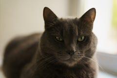 Big gray cat sitting near window stock images