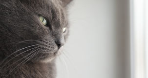 Big gray cat sitting near window Royalty Free Stock Photos