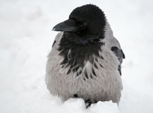 Big gray crow seats in snow Stock Photo