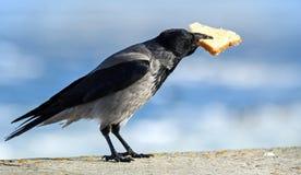Big gray crow with big piece of bread Stock Photos