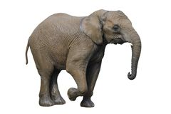 Big gray elephant isolated on white background. Big gray elephant isolated on white background Stock Images