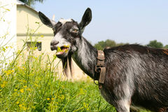 Big gray goat eating grass Royalty Free Stock Photos
