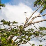 Big gray heron, Lake Cuyabeno Laguna Grande. Ecuador Royalty Free Stock Image