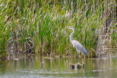 Big gray heron stands,  wild pond, Royalty Free Stock Photography