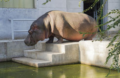 Big gray hippo standing on white stairs that lead Stock Photo