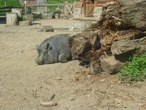 Big gray pig Royalty Free Stock Photo