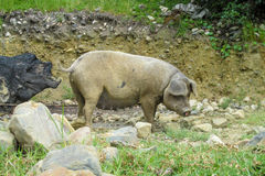 Big gray pig. In the mud, domestic animal in nature stock image