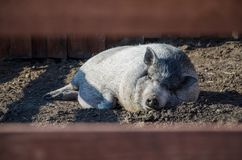 Pig is sleeping stock photo
