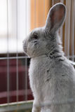Big gray rabbit in the cage Stock Photography