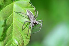 Big gray spider with long legs sitting on a wide green leave (Nursery web spider, Pisaura mirabilis) Stock Photography