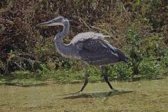 crane bird gray and strutting stock image