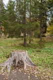 Big gray stump in the foreground and green larches in autumn park. Big gray dry stump in the foreground and green larches in the background in autumn park Stock Photos