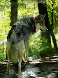 Big Gray Wolf Stock Images