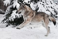 A big gray wolf fools around during mating games and jumps up and down with a silly and funny face a snowy forest royalty free stock images