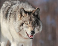 Big gray wolf stock photo