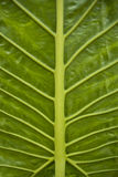 Big grean leaf with veins Stock Photos
