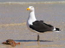 Big Great Black-backed Gull guarding a crab. Royalty Free Stock Photography