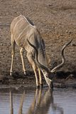 Big Greater Kudu Bull Royalty Free Stock Photography