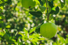 Big green apple on the branch Royalty Free Stock Photos