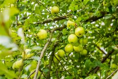 Green Apple Tree. Big green apple tree ready for harvesting. Full grown green apples on the apple tree on a warm summer day Stock Photography