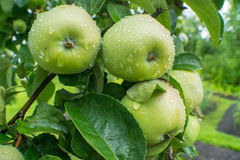 Big green apples with drops after rain Stock Photos