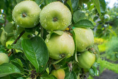 Big green apples with drops after rain Stock Photography