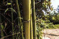 BIg Green bamboo canes Stock Images