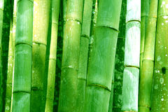 Big Green Bamboo grove bathed forest background Stock Photo