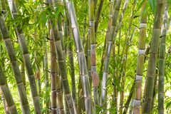 Bamboo forest in the jungle. Big green bamboo tree forest in the jungle at a tropical island Royalty Free Stock Images