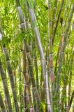 Bamboo forest in the jungle. Big green bamboo tree forest in the jungle at a tropical island Stock Images