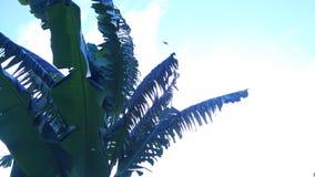 Big green banana leaves exotic. royalty free stock image