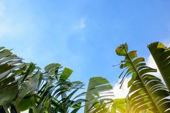 Big green banana leaves of exotic palm tree in sunshine on blue sky background. stock photography