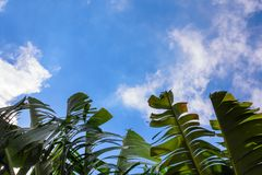 Big green banana leaves of exotic palm tree in sunshine on blue sky background. stock photo