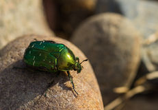 Big green beetle Royalty Free Stock Image