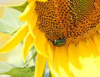 Big green beetle on a sunflower Royalty Free Stock Images
