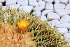 Big green blossoming cactus Royalty Free Stock Photos
