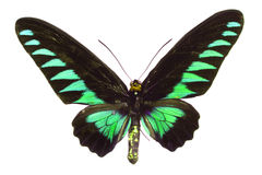 Big green butterfly. Green and black butterfly on the white background royalty free stock photography