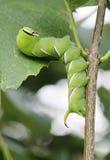 Big green caterpillar Stock Images