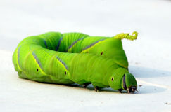 Big green caterpillar Royalty Free Stock Photo