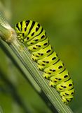 The big green caterpillar Royalty Free Stock Photo