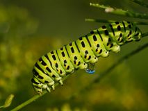 The big green caterpillar Royalty Free Stock Image